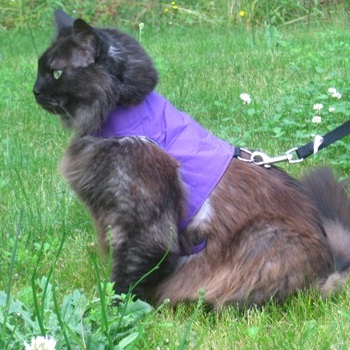 Purple Cat Harness with Lead