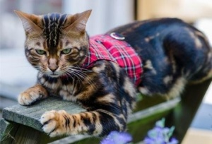 Red Tartan Cat Harness and Black Lead